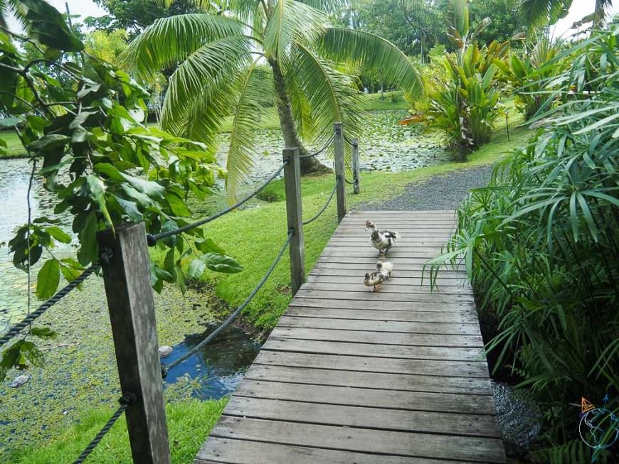 Canards dans les jardins de Vaipahi.
