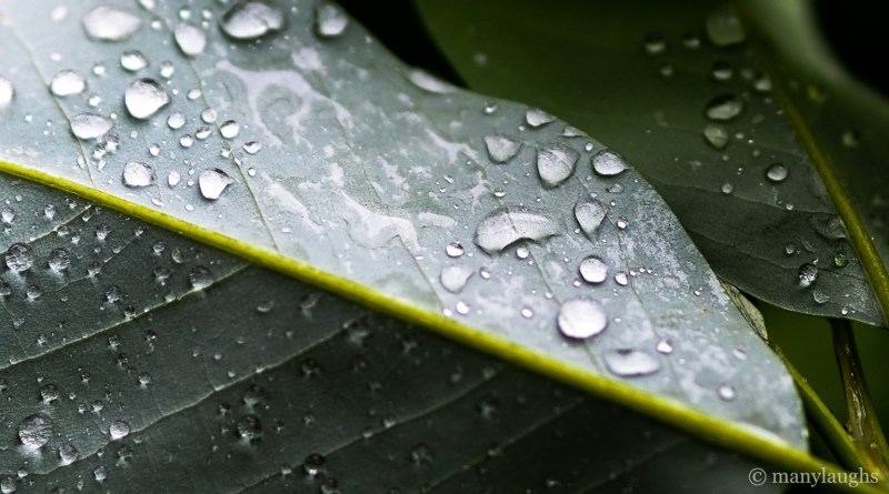 Silvery raindrops on leaves
