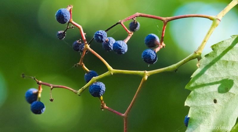 Twisting blue berries