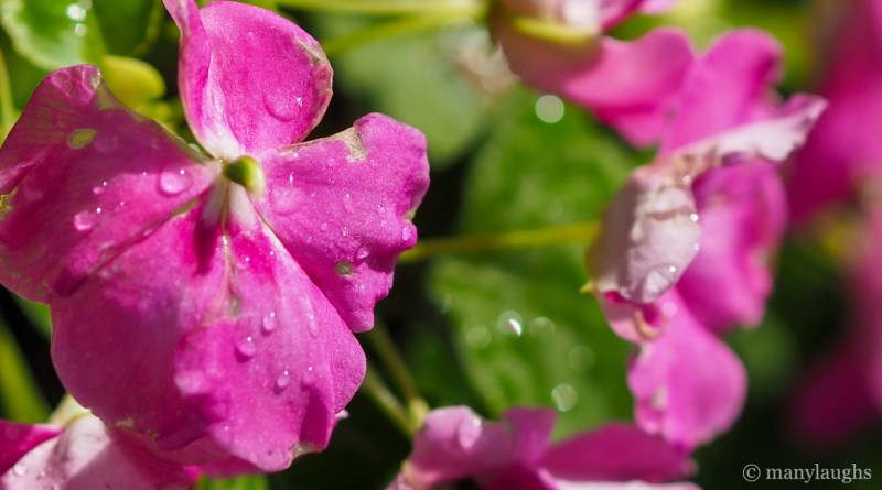 Wet, pink flowers