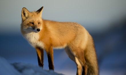 Fusíveis do Fox