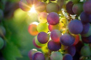 tipo de vinho - uva em videira ensolarada