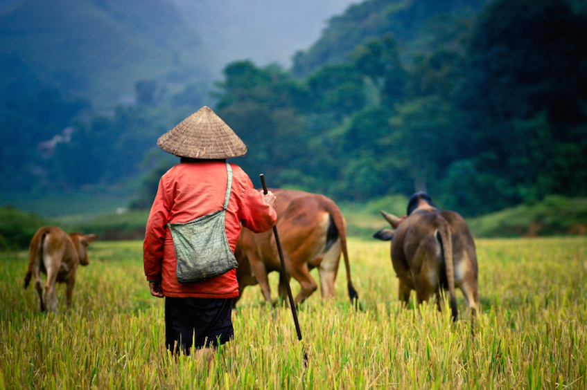 Saffron Interview Vietnam Man with buffallo by pirjek 847px