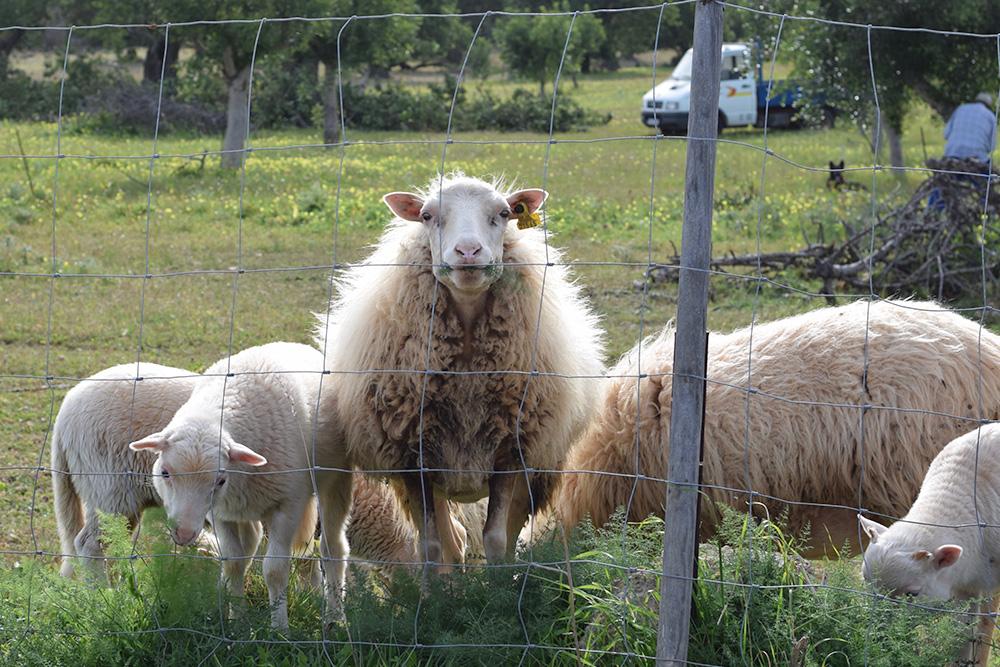 Photo of sheep on a farm in Mallorca Spain