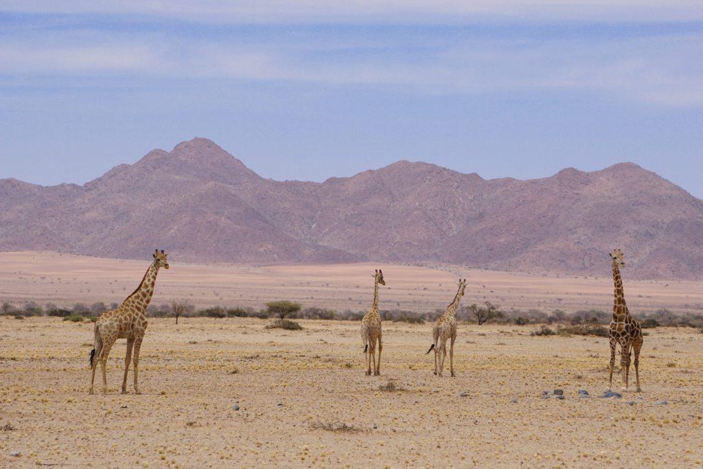 Namibian Road Trip Giraffe