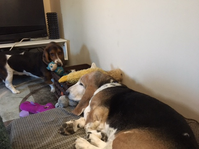 Large Black and Tan basset hound Brady asleep on a pile of toys as smaller basset hound Rosie tries to take them out one by one