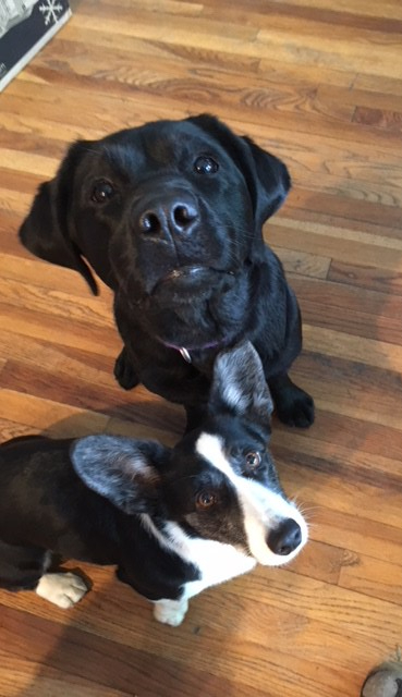 Corgi Zora and black lab Rock-It sitting looking at the camera