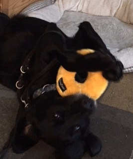 black dog on his back with a yellow donut toy in his paws