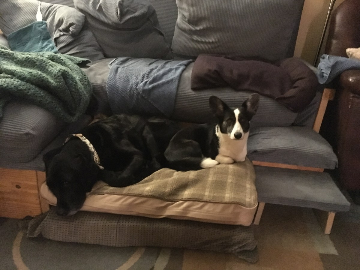 Black retriever and a black and white corgi lieon a dog bed together