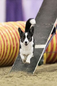Corgi running down the dogwalk