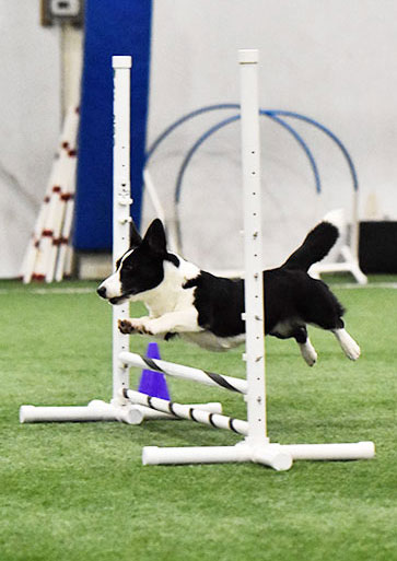 Cardigan Welsh Corgi leaping over an agility jump