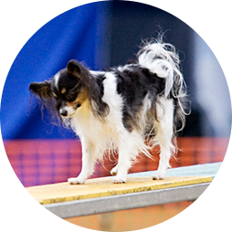 Papillon dog on an agility teeter