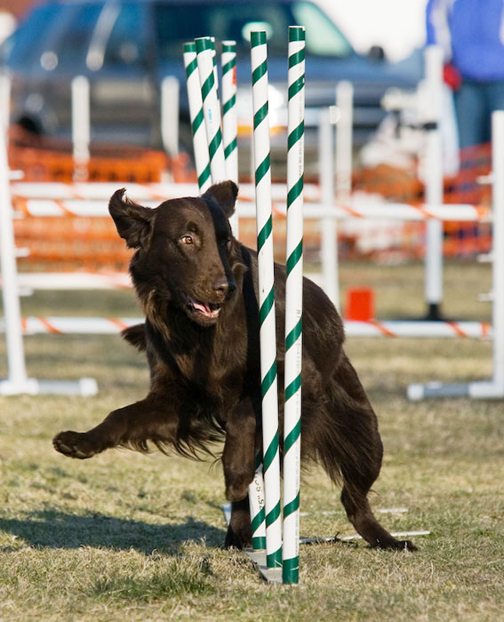 Flat-Coated Retriever running through the weave poles