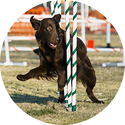 Flat Coated Retriever going through weave poles at an agility trial