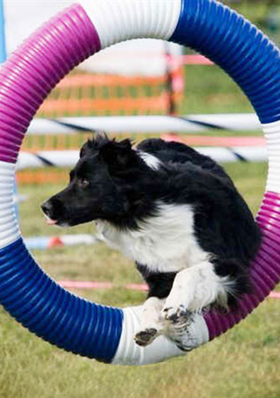 Black and white dog jumping through an agility tire
