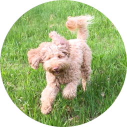 Goldendoodle running in a field