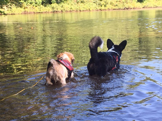 Two dogs wading in a pond together