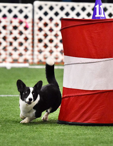 clack and white corgi running around an agility barrel