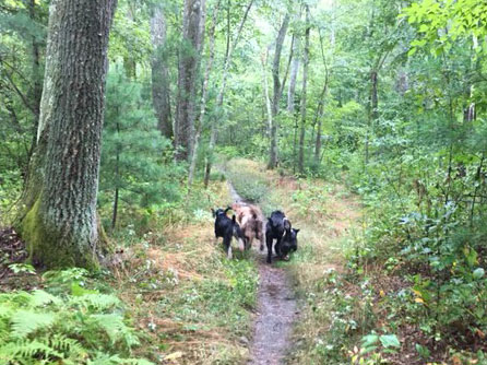 Four dogs running together down a trail through the woods