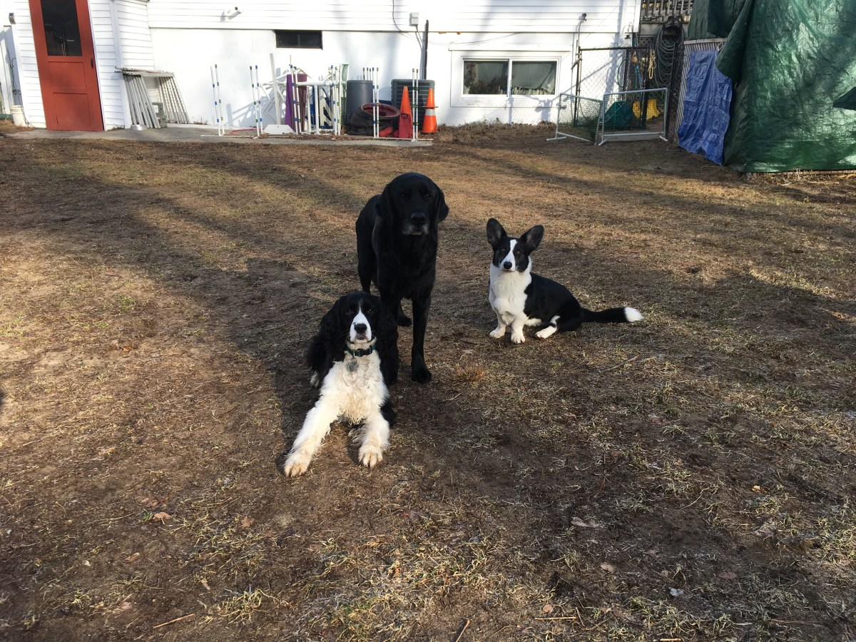 3 dogs in a group stay, spaniel in a down stay, lab cross in a stand stay, corgi in a sit stay