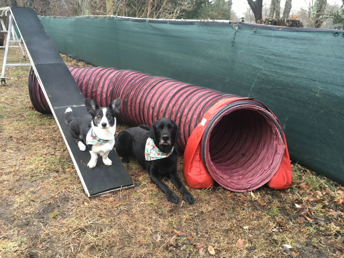 Black and white corgi sits on a black dog walk ramp, black lab slides between ramp and a red tunnel