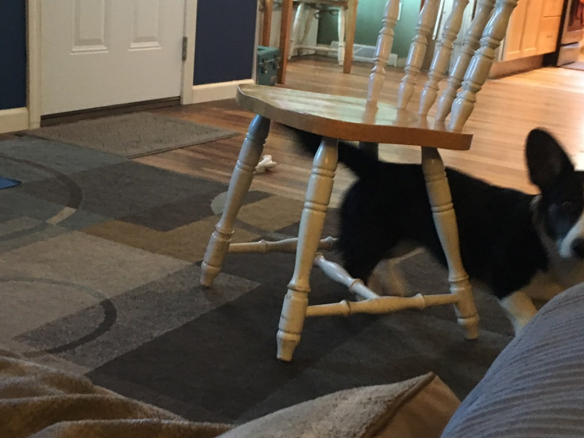 Black and white corgi walking out from under chair towards camera
