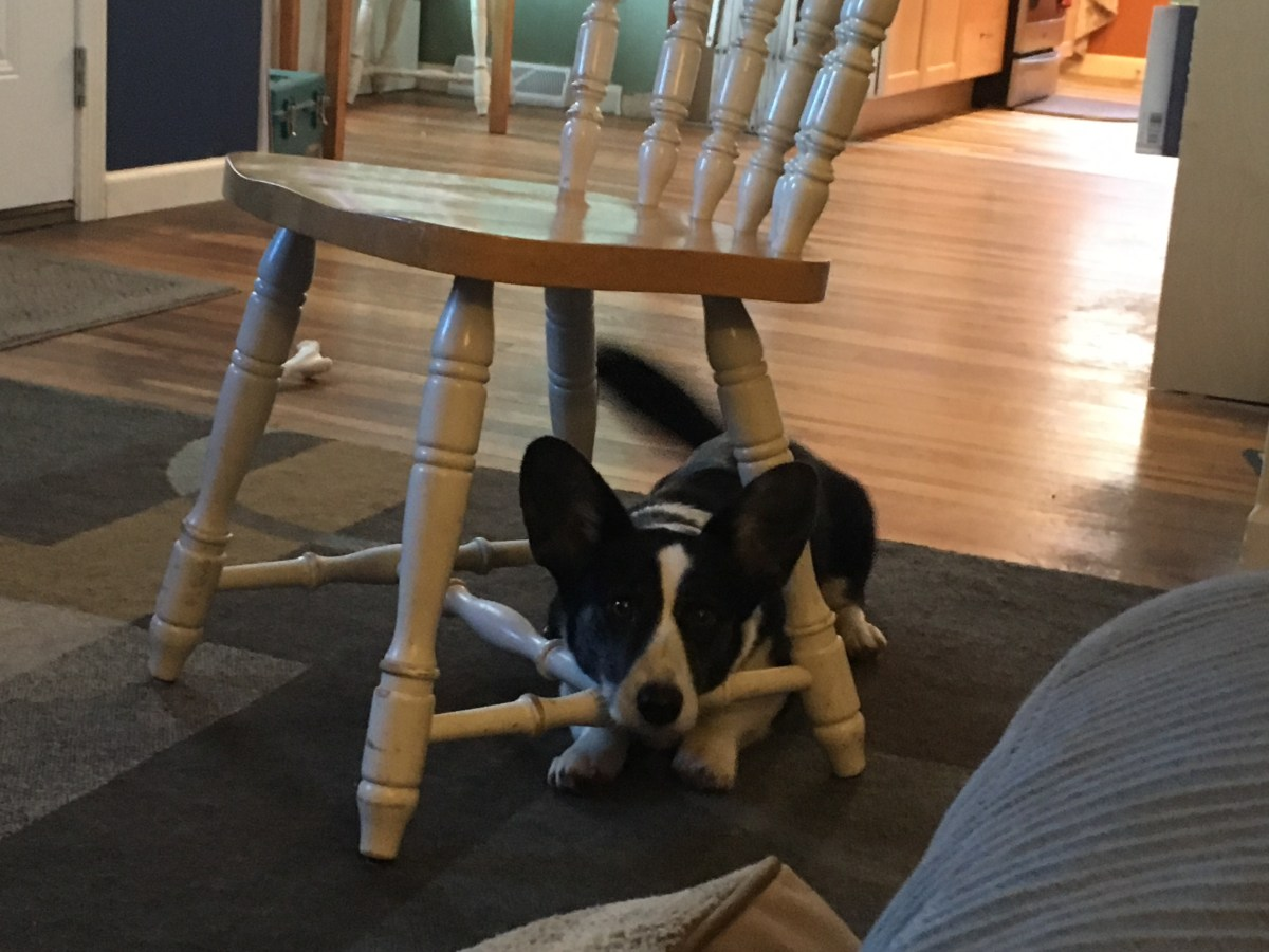 Black and white corgi lying under chair with her head resting on the rung, tail a wagging blur