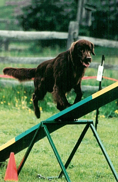 Flat Coated Retriever going over a teeter