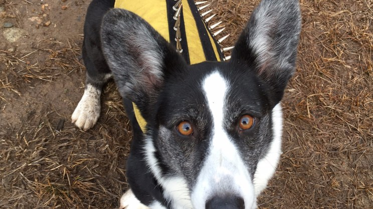 black and white corgi in yellow spike vest sits panting a field