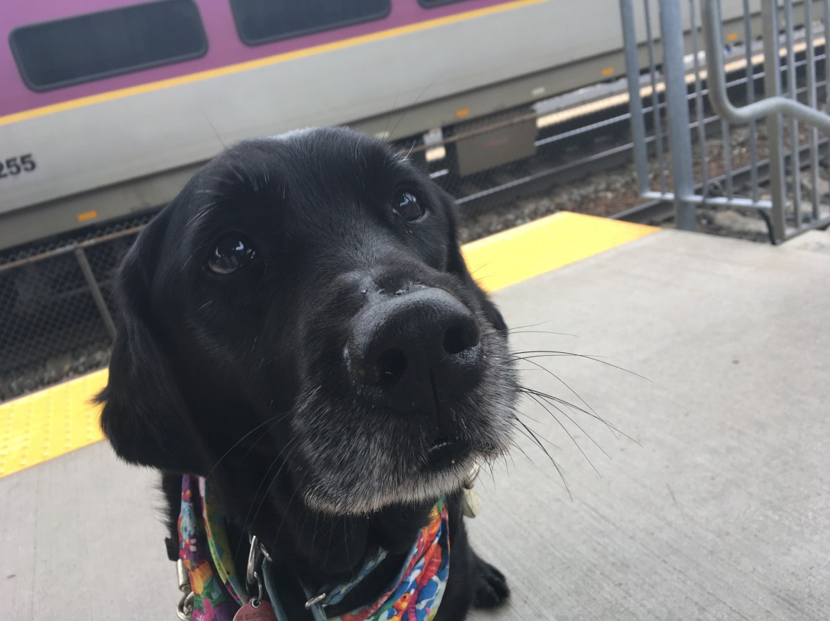 black retriever guide dog sits on a train platform
