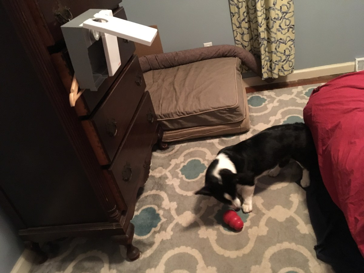black and white corgi playing with a red kong on a rug, the cat mate dispenser hanging from a dresser above her