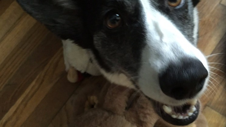 close up of a smiling corgi face with a tan round toy at her feet