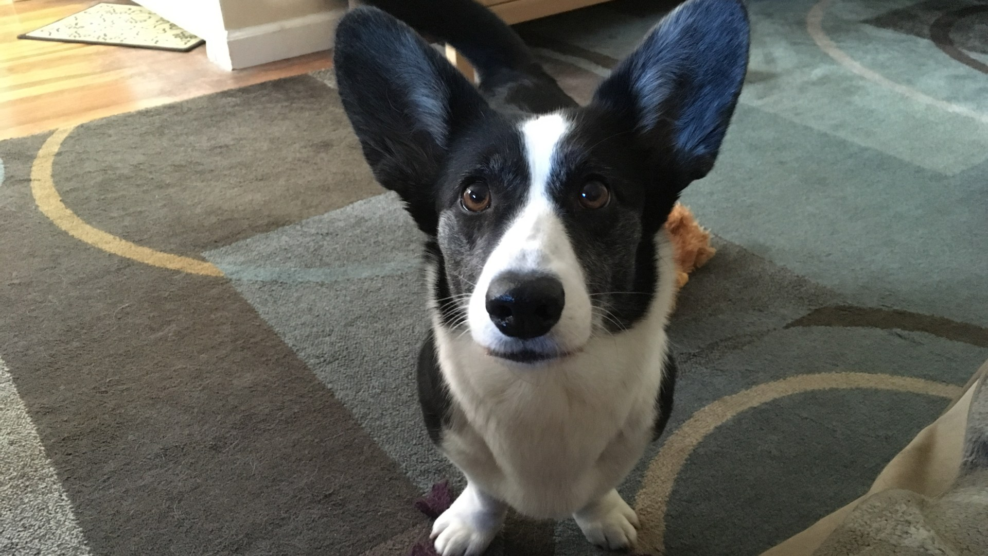 black and white corgi staring intently at the camera, standing on a blue pattern rug