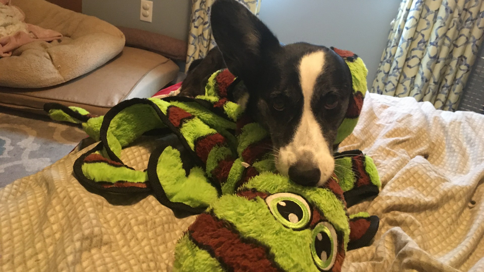 black and white corgi with a green and brown octopus toy wrapped around her head