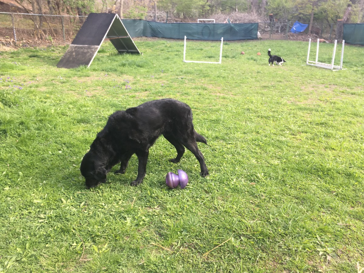 Black retriever in the grass, black and white corgi in the background, each dog with a purple food toy