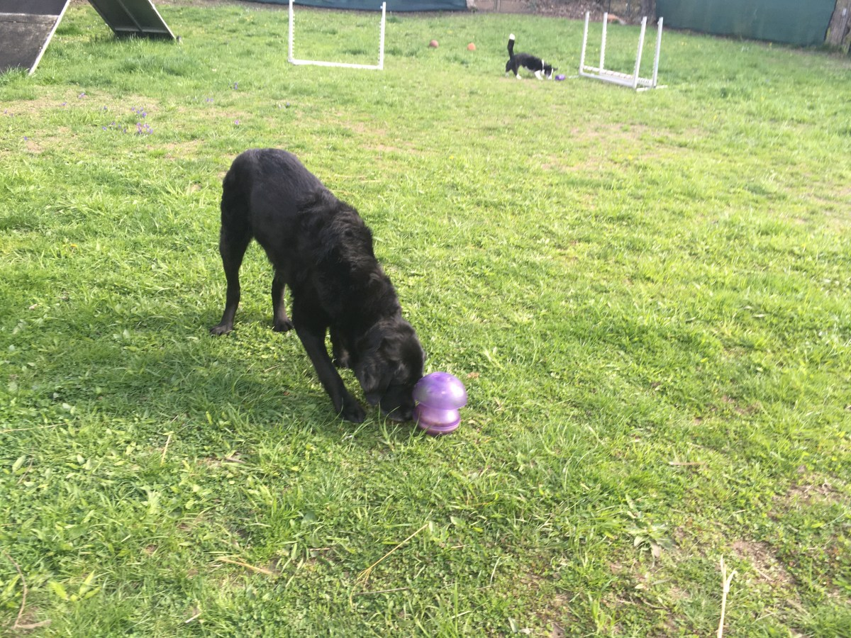 Black retriever in the grass with a purple food toy