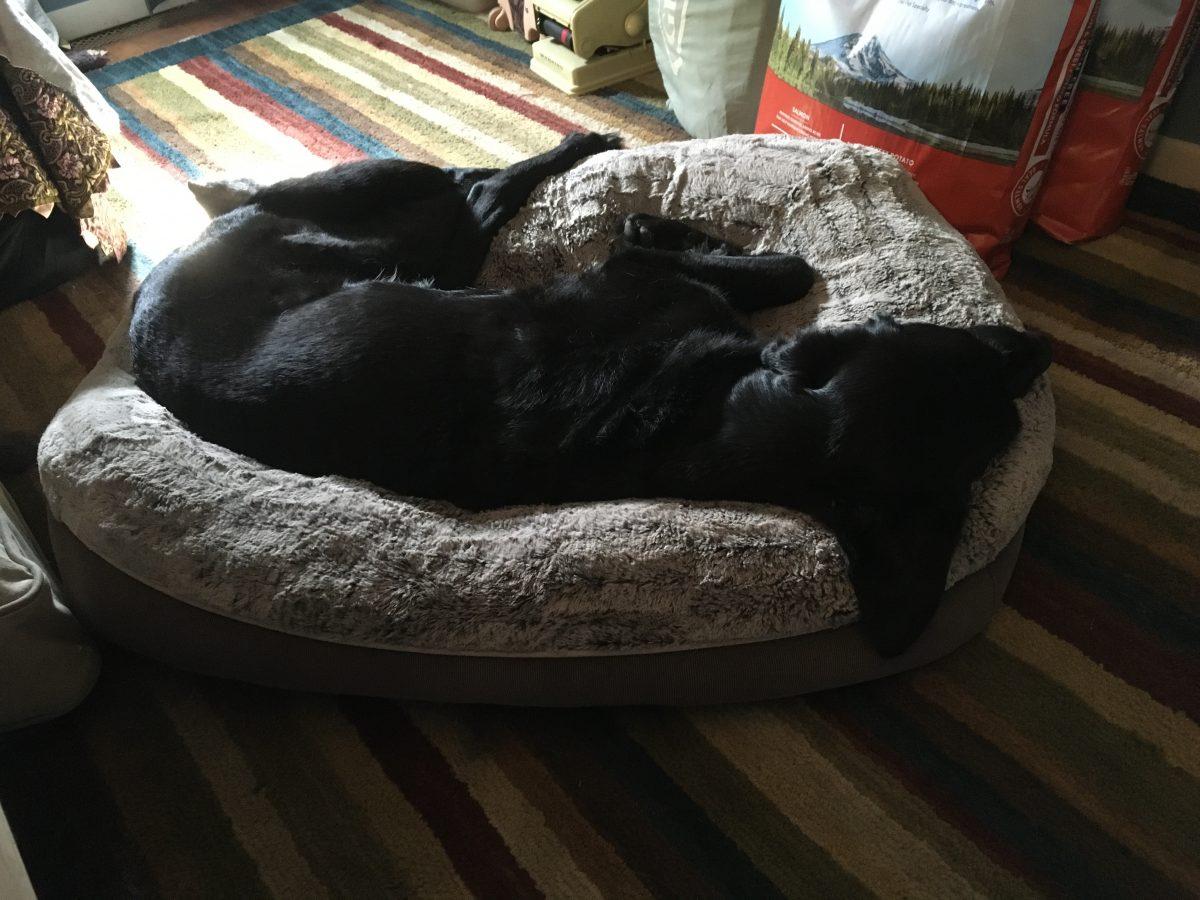 black retriever sleeps in a grey dogged on a multi colored rug