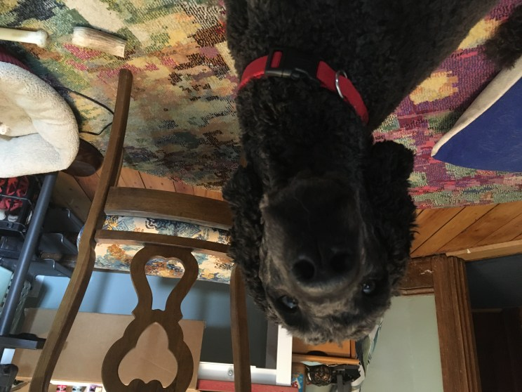 black standard poodle with a short haircut sits in a cluttered office