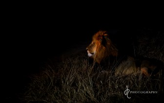 Male lion at night!