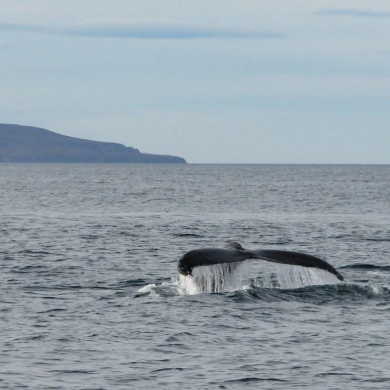 Walvissen spotten in Húsavik, IJsland - Map of Joy