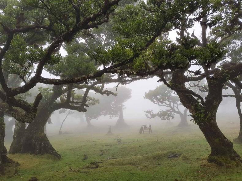 Fanal bos, Madeira - Map of Joy