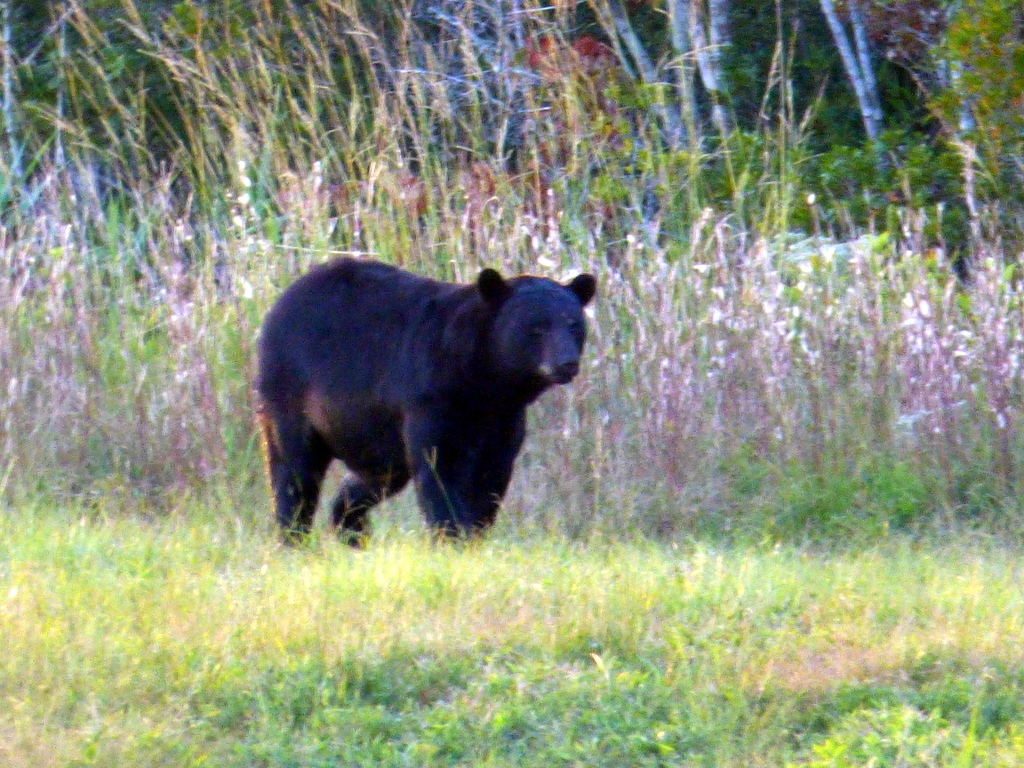 Black Bears in Alligator River National Wildlife Refuge