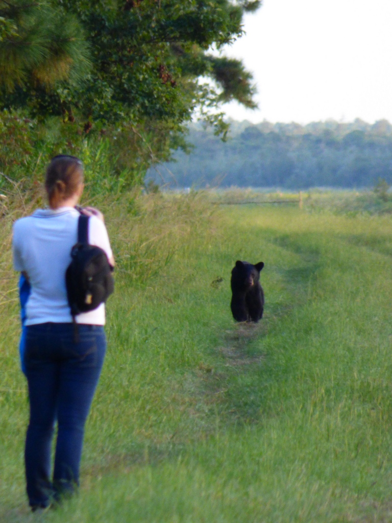 Black bear walking towards me and one positioned behind - surrounded!