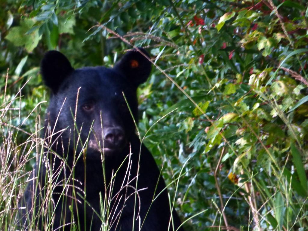Black bears in Alligator River