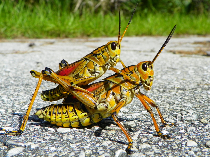 A pair of Florida Lubber Grasshoppers in Everglades.