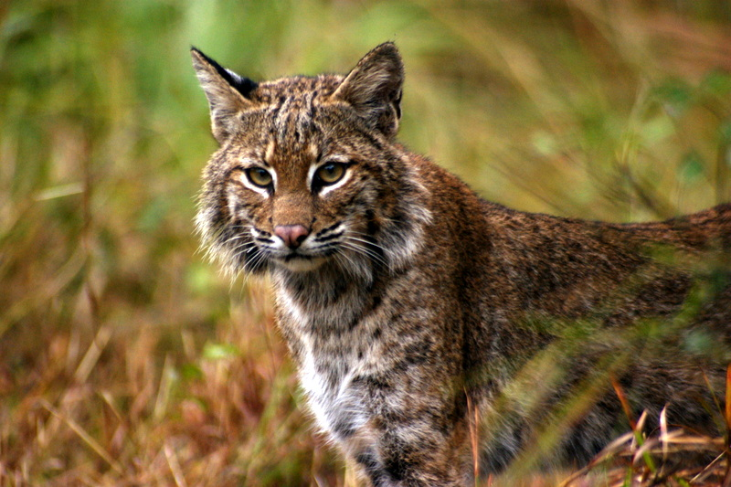 Tides were turned as this Bobcat snuck up on me while I was photographing Wild turkeys in Big Cypress Preserve, Florida. Luckily I was able to snap a quick photo before he quickly dashed off again.