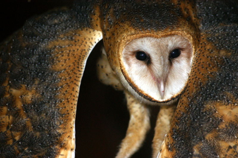 Photo taken of a Barn owl in an abandoned barn located in Southern Florida.