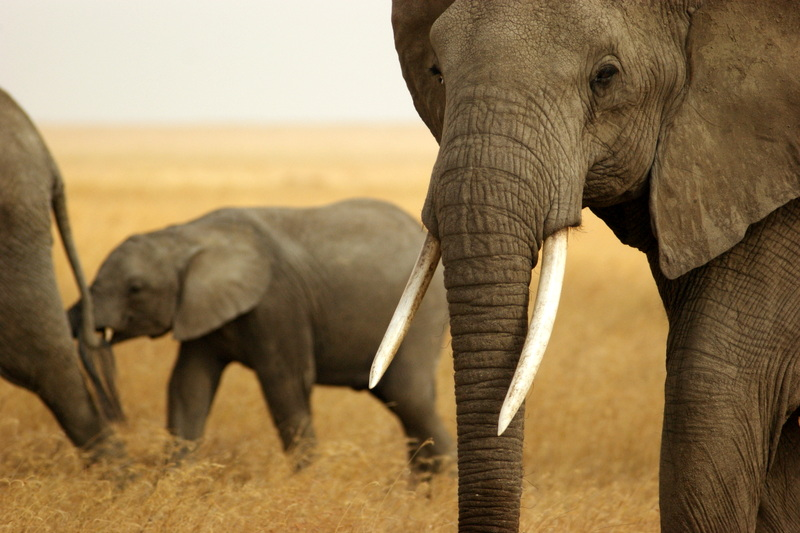 Taken in the Serengeti, this herd of African Elephants lives protected from the guns of poachers .