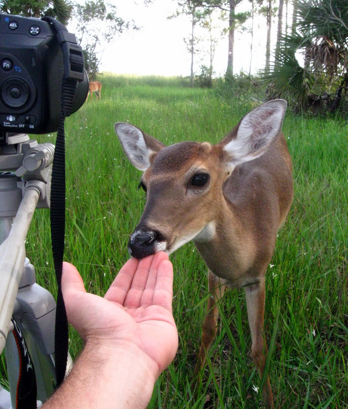 Photograph taken in the Corkscrew Regional Ecosystem Watershed to promote the Florida Forever program which promotes land acquisition for sustainability of Endangered species like the Florida Panther. This fully wild Whitetail deer was curious enough to make contact.
