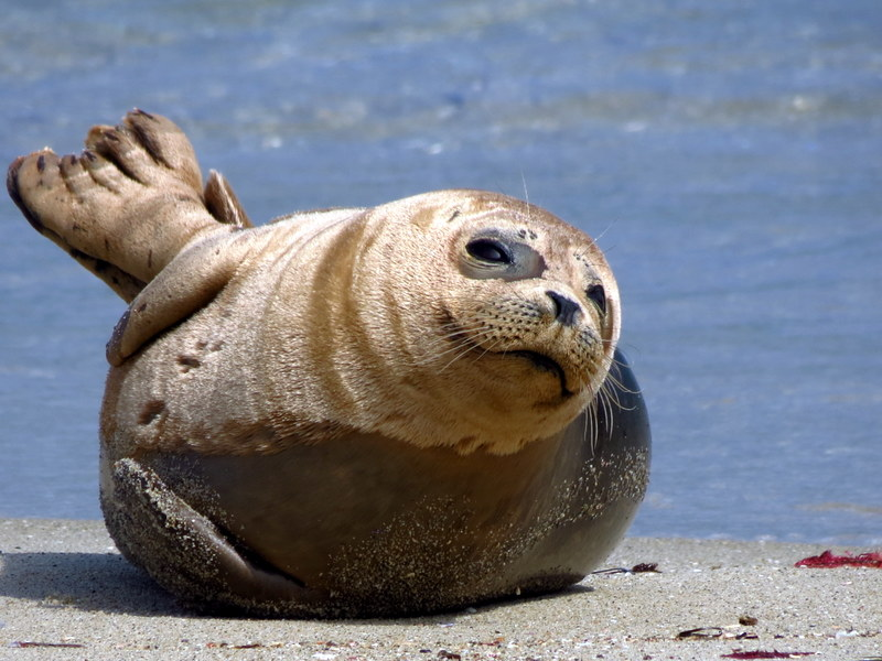 Taken in La Jolla California, this Harbor Seal seemed to be enjoying some relaxation on the sunny beach.